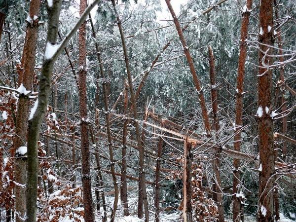 Oblodzone drzewa stanowią ogromne zagrożenie. Fot. Nadleśnictwo Oleszyce